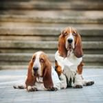 11 surprising facts you probably didn't know about Basset Hounds