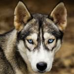 Responsible dog breeding - 10 characteristics of crossbreeding