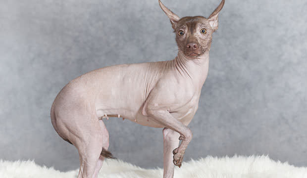 Mexican-Hairless