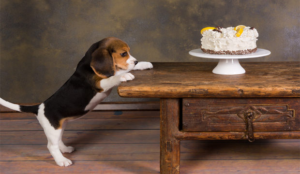dog-wanting-to-eat-cake