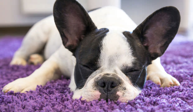 Why-Dogs-Rub-Their-Faces-Into-Carpet-cover2