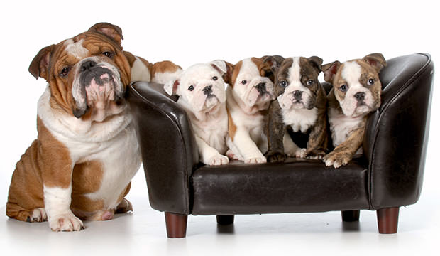 english bulldog size what to expect when your pup is expecting facts on 6346
