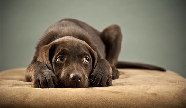bigstock-Puppy-plugging-its-ears-7361073