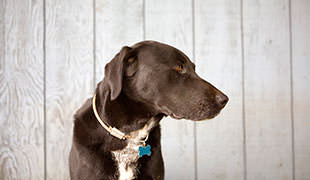 The Blue Lacy Dog