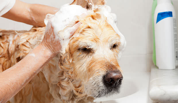 Homemade Dog Shampoo Recipe – Dish