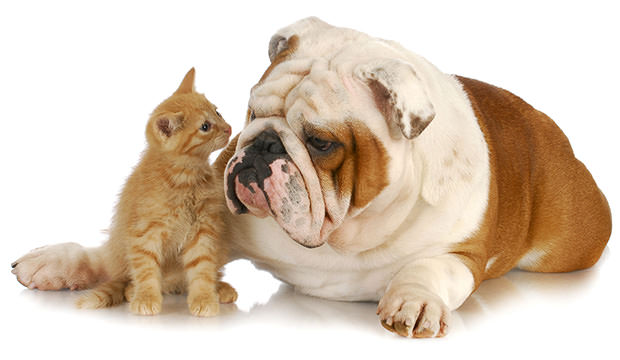bigstock-kitten-and-english-bulldog-nos-19484405