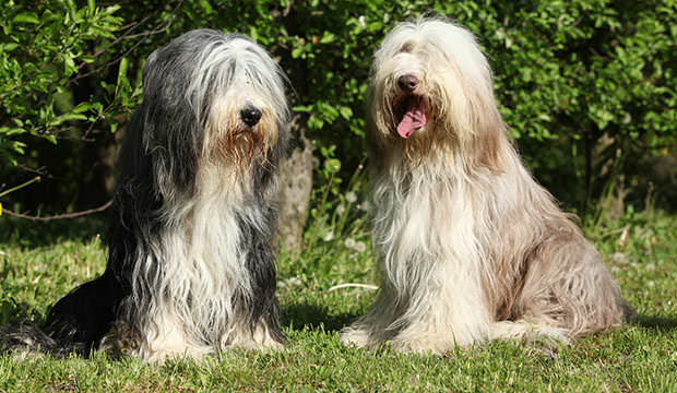 bigstock-Bearded-Collie-Sitting-In-The--69871585