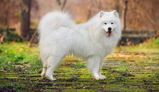 bigstock-Beautiful-Samoyed-57636359