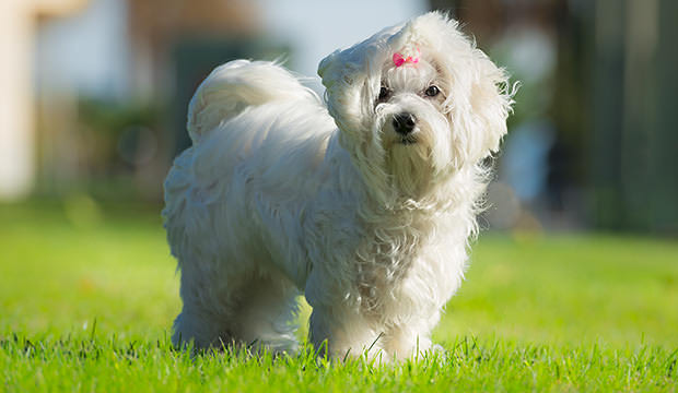 bigstock-Cute-Female-Maltese-Dog-64845427
