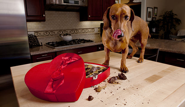 bigstock-Dog-Eating-Chocolates-From-Hea-8187245