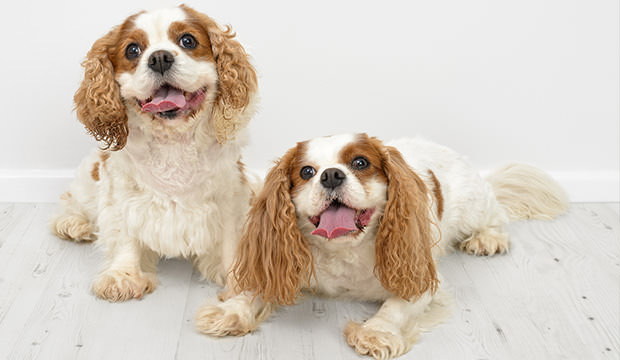 bigstock-Two-King-Charles-Spaniel-dogs--69056638