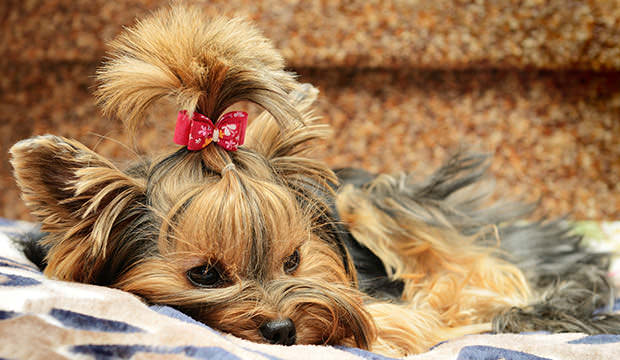 bigstock-cute-yorkshire-terrier-on-the--28583996
