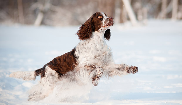 bigstock-springer-spaniel-dog-jumps-in--44348260