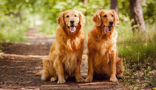bigstock-Portrait-of-a-two-dogs-46749172