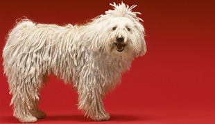 Top 15 Fluffy Dog Breeds