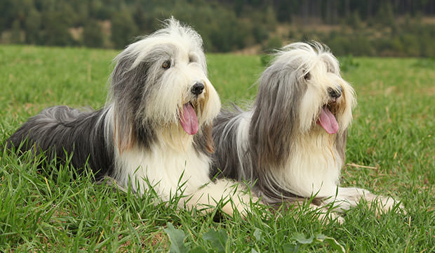 bigstock-Two-Amazing-Bearded-Collies-Ly-80443001
