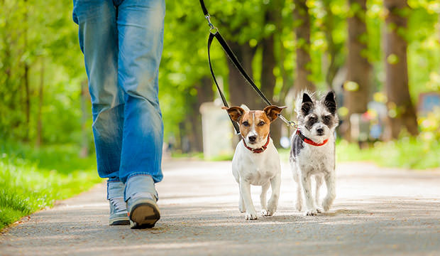 bigstock-Dogs-Going-For-A-Walk-64438567
