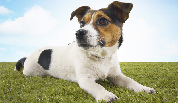 bigstock-Jack-Russell-terrier-lying-in--17649854