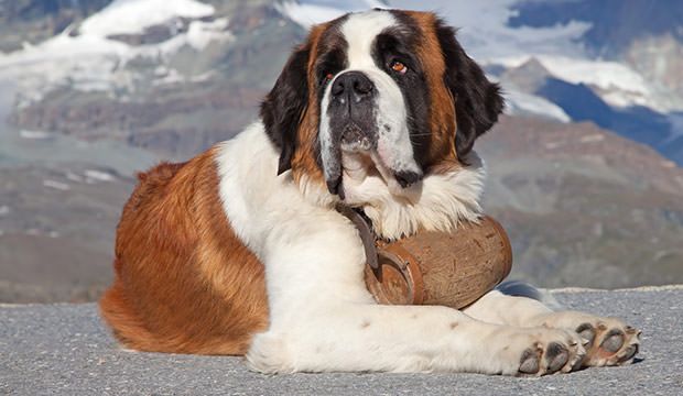 bigstock-St-Bernard-Dog-with-keg-ready-26781896