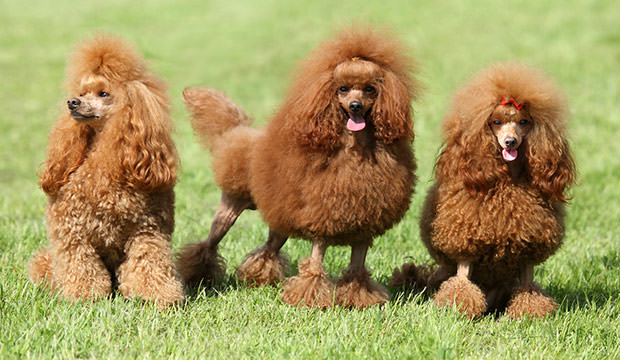 bigstock-Three-Red-Poodle-Posing-On-The-46327339