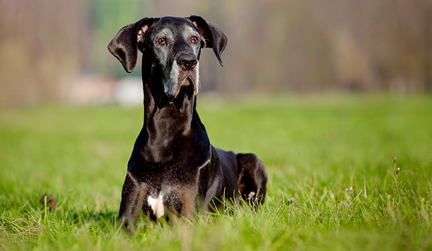 bigstock-giant-black-dane-dog-outdoors-75195439
