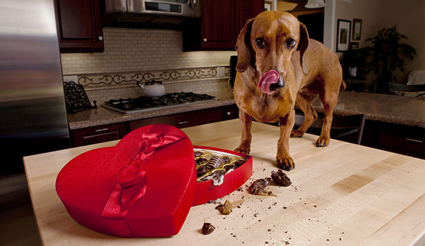 bigstock-Dog-Eating-Chocolates-From-Hea-8187245(1)