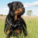 15 Best Watchdog Breeds