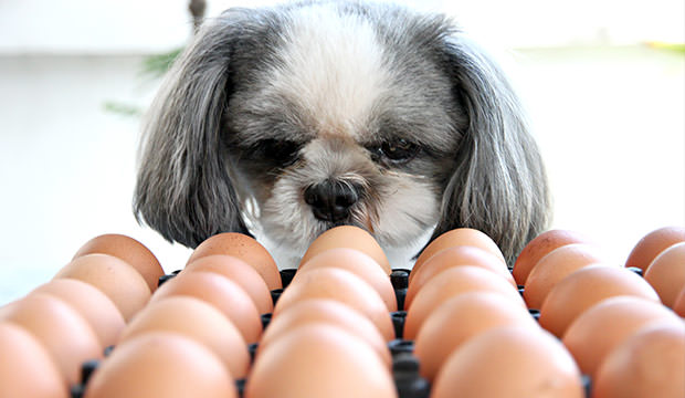 bigstock-The-Dog-Watching-Egg--54842942