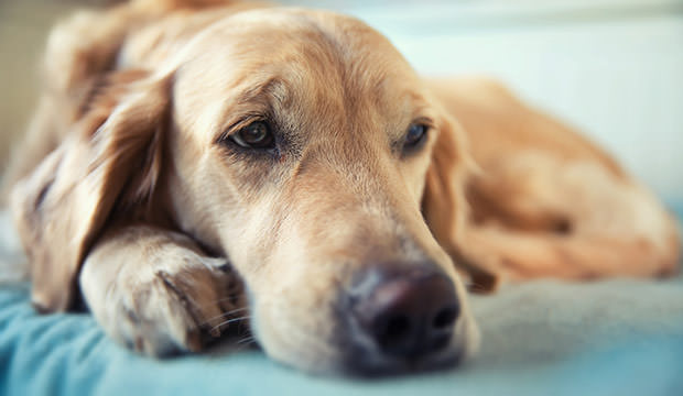 bigstock-Dog-lying-on-the-bed--golden--62447198
