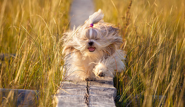bigstock-Shih-tzu-dog-running-on-wooden-79681840