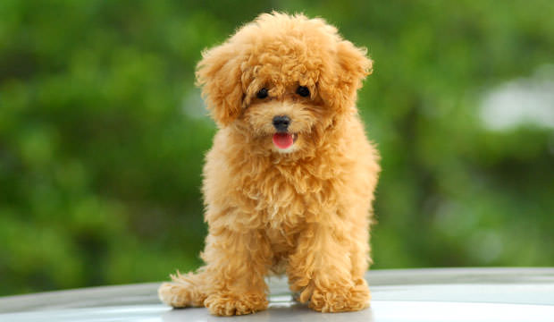 Poodles-Have-Such-Soft-Coats-cover