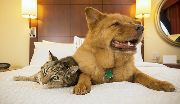 bigstock-Cat-And-Dog-Together-In-Hotel--94623140