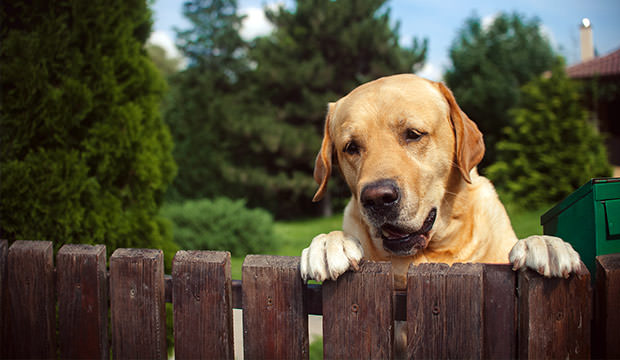 bigstock-Labrador-Dog-Peeping-From-Behi-81286484