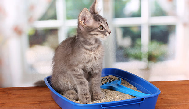 bigstock-Small-gray-kitten-in-blue-plas-36454567