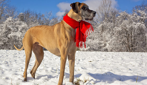 bigstock-Great-Dane-standing-in-the-sno-76547276