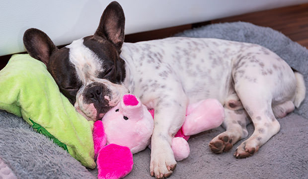 Frenchie holding a piglet puppet