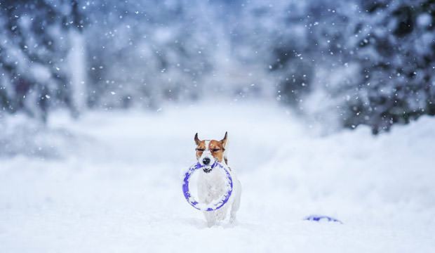 bigstock-Jack-Russell-Dog-Outdoors-In-W-79079443