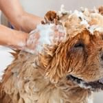 Can I Use Human Soaps And Shampoos On My Dog?
