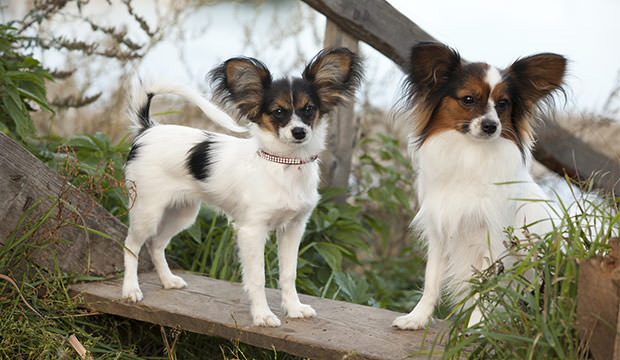 bigstock-Portrait-of-purebred-Papillon--73072360
