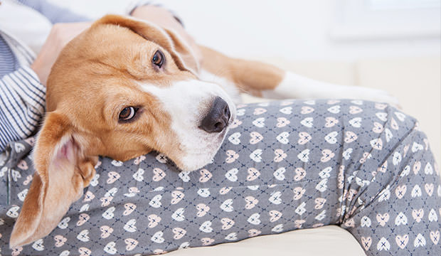 bigstock-Beagle-lying-on-his-owner-hand-82154912