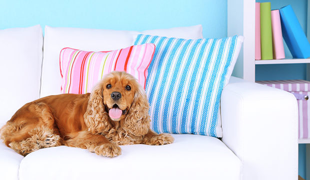 bigstock-English-cocker-spaniel-on-sofa-67171084