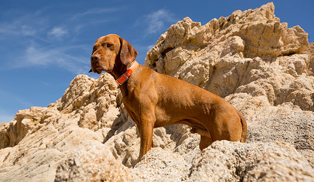 bigstock-Golden-Dog-With-Cliff-In-Backg-71512033