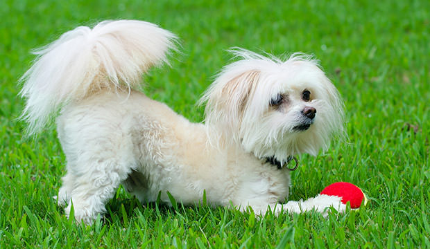 bigstock-Portrait-of-maltipoo-dog-playi-49531418