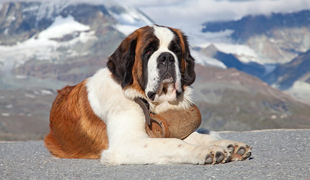 bigstock-St-Bernard-Dog-with-keg-ready-26780945