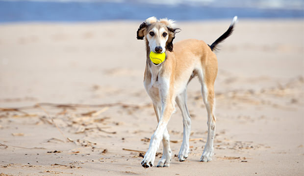 bigstock-adorable-saluki-puppy-88934603