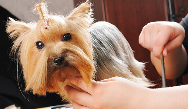 bigstock-yorkshire-terrier-getting-his--26929685