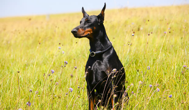 4-12-Most-Loyal-Dog-Breeds