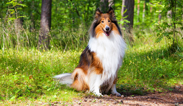 7-12-Most-Loyal-Dog-Breeds