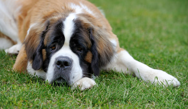 9-12-Most-Loyal-Dog-Breeds