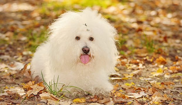 bigstock-Bichon-Bolognese-Dog-Relax-In--74111995